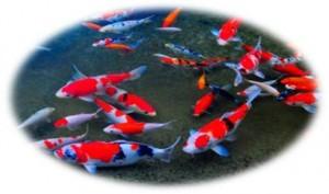 Koi Carp Pond Filter Media