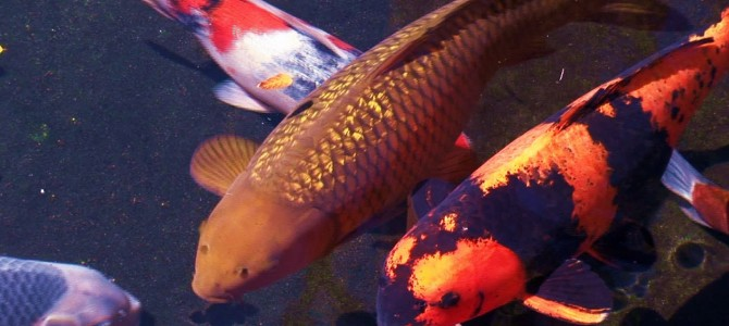 New Koi Carp Season – 2020